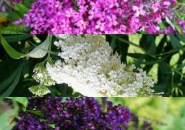 3 x Buddleja Davidii: Pink Delight + White Profusion + Black Knight